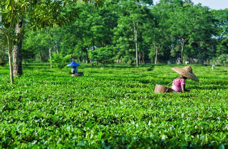 Tea Gardens Assam
