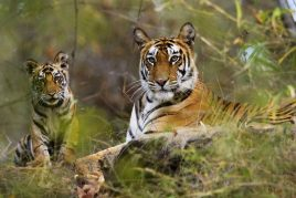 Central India Tiger Safari Tour