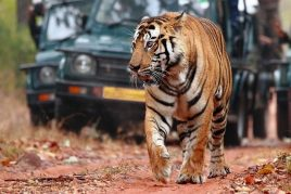 Tigers of Central India and Rhinos of Assam Tour