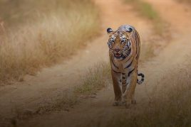 Ranthambore and Corbett Tiger Safari with Golden Triangle