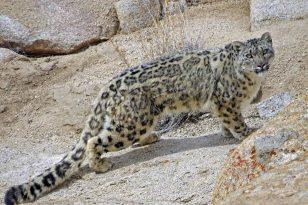 Ladakh : Snow Leopard Tour