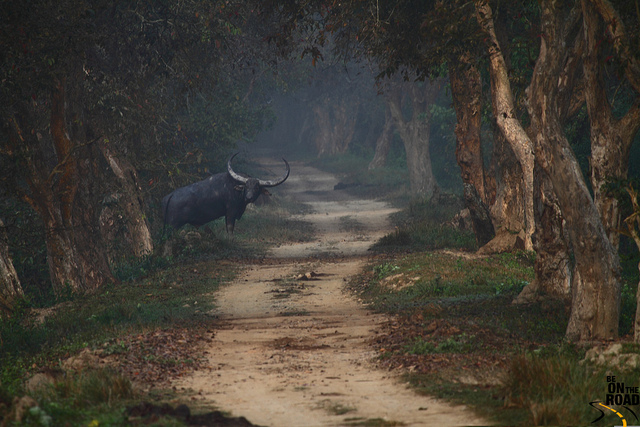 Wild Buffalo at Kaziranga National Park