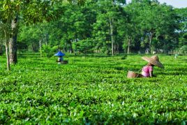 Tea Garden & Horse Riding Holiday in Assam